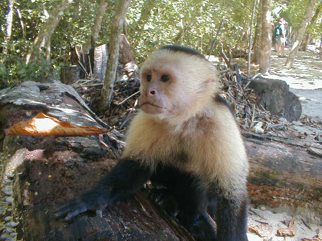Costa Rica White-faced Monkey