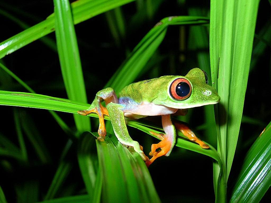 Costa Rica Rainforest Tree Frog