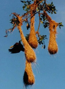 My 4 Favorite Costa Rica Birds - nest of Montezuma Oropendola