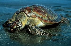 Sea Turtles in Costa Rica - Green Sea Turtle