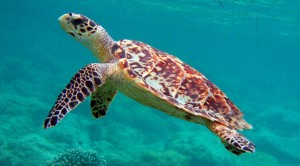 Sea Turtles in Costsa Rica - Hawksbill