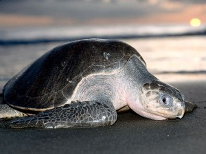 Sea Turtles in Costa Rica - Olive Ridley